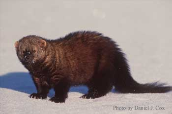 What a fisher cat looks like