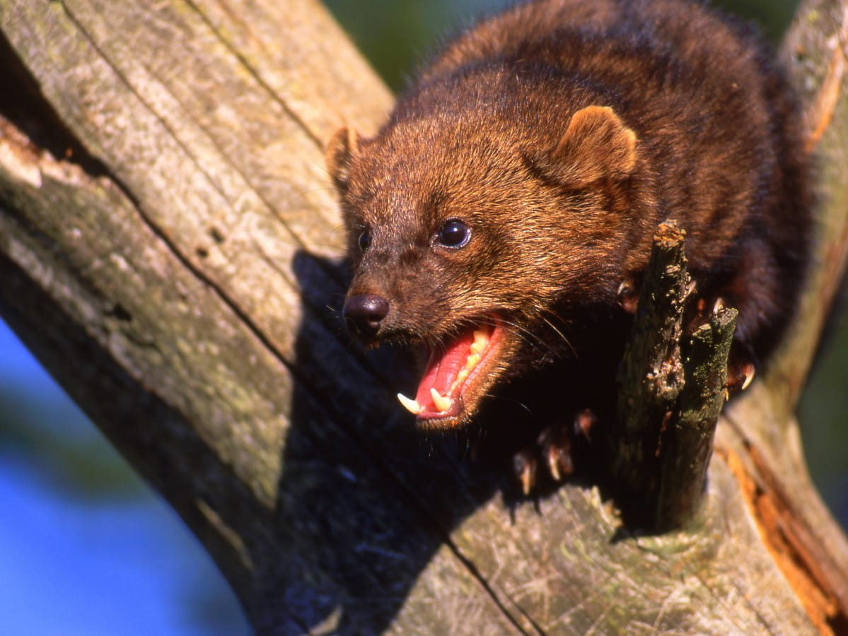 New England Fisher Cats Fisher Cat Screech