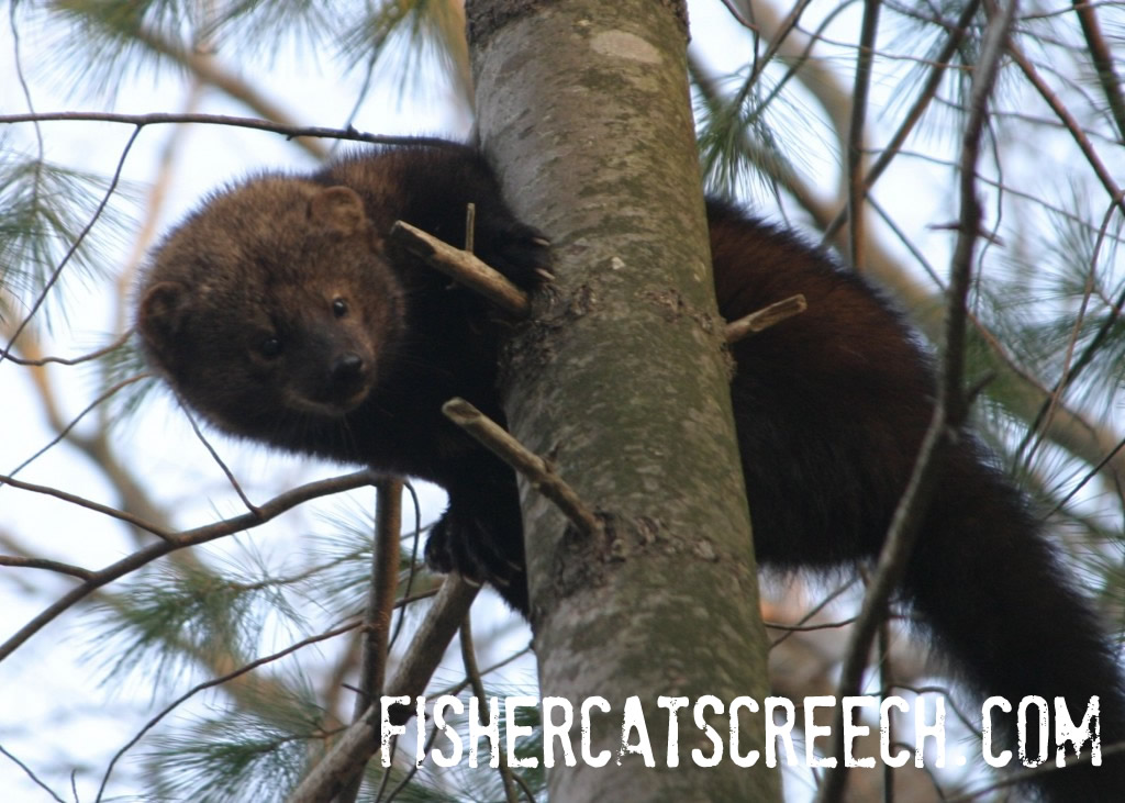 Fisher Cat Pictures | Fisher Cat Screech